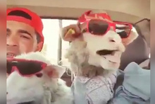 Şarkıcı koyunlardan mükemmel performans