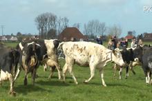 5 ay sonra barınaktan çıkan ineklerin mutluluğu