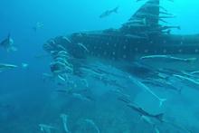 Devasa balina köpekbalığına eşlik eden köpek balığı sürüsü