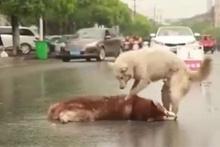 Araba çarpan arkadaşını uyandırmak isteyen köpek