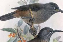 30 yıl önce nesli tükenen kuşun son ses kaydı!