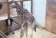 Yavrusunu korumak için bakıcıya tekme atan zürafa