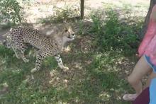 Çita saldırısı kameralara takıldı