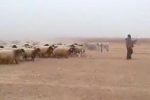 Hayvanları askeri yürüyüşle komuta eden çoban