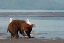Yavru ayının deniz kabuğu ile imtihanı