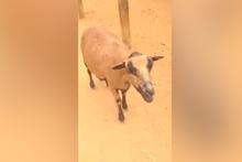 Keçinin sesini duyan kahkahalar attı!