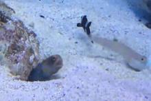 Temizlik yapan balığın evine kum atan gıcık balık