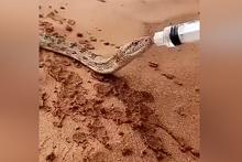 Susamış yılana böyle su verdi