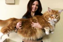 Avustralya'daki 1.2 metrelik dev ev kedisi