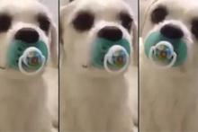 Bebek gibi emzik kullanan köpek