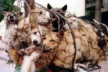 Yulin'de köpek eti yemek yasaklandı!
