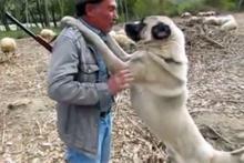 Kangal köpeğini hunharca seven adam