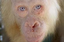 Albino Orangutan görenleri şaşırtıyor!