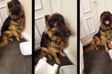 Yaramazlık yaptığı için utanan köpek