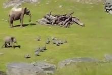 Sevimli yavru fil gördüğü herşeyi kovalıyor...