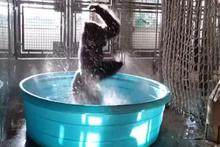 Leğenin içinde çılgınca dans eden goril