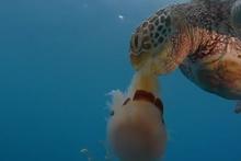 Acıkan kaplumbağa denizanasını yedi