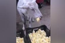 Civcivleri canlı canlı yiyen keçi