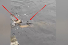 Dev timsaha karşı gelen kaplumbağanın büyük zaferi