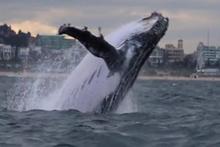 Sidney'de dev balina görüntülendi: Tam 45 ton