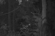 Yavru ayı, ağaca tırmanmasını öğrenirken