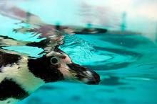 İngiltere'de hayvanat bahçesinde penguenleri katlettiler