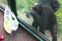 İstediğini elde etmeyi bilen şempanze!