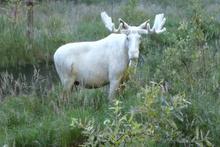 Çok ender rastlanan beyaz geyik görüntülendi