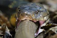 Yılan avlayan kobra!