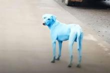 Mavi köpeklerin esrarı çözüldü sebebi ürkütücü