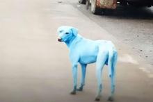 Dünyayı ayağa kaldıran mavi köpeklerin esrarı çözüldü