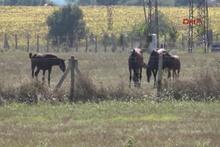 İstanbul'da at çiftliğine kurt saldırısı iddiası