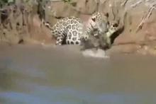 Leopar dev timsahı böyle avladı!