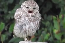 Fena halde uykusu gelmiş sevimli baykuş