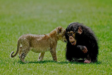 Aslan 'Cesur' şempanze 'Can'a karşı