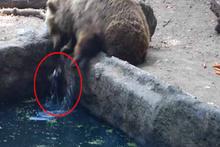 Boğulmak üzere olan kargayı ayı kurtardı