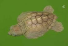 Albino deniz kaplumbağası yavrusu koruma altına alındı