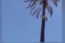 Palmiye ağacında keçi