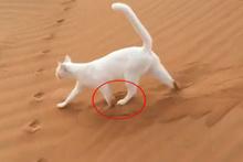 Kedinin sosyal medyada tartışma yaratan yürüyüşü!