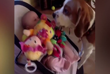 Ağlattığı bebeğin oyuncağını geri getiren köpek