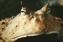 Boynuzlu kurbağaların bu özelliğini duyunca şoke olacaksınız dinozoru bile...!