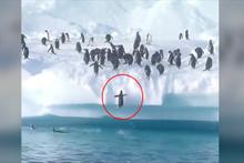 Penguenler sudan zıplayarak karaya çıkmaya çalışıyor