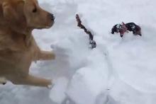 Kahraman köpek tavukların hayatını böyle kurtardı