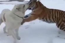 Türkmen çoban köpeği kaplanla karşı karşıya