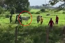 20 kişi birleşip ineği öldürdü