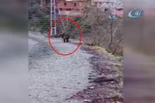 Köye inen yabanı domuz tüfekle vuruldu