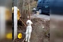 Bu köpek kemençe sesine dayanamıyor