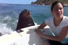 Beleşçi fokun tekneye takılması