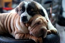 Köpekler açık artırma usulü satıldı