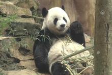 Çin'in diplomat pandalarına 'sarayda' özenle bakılıyor